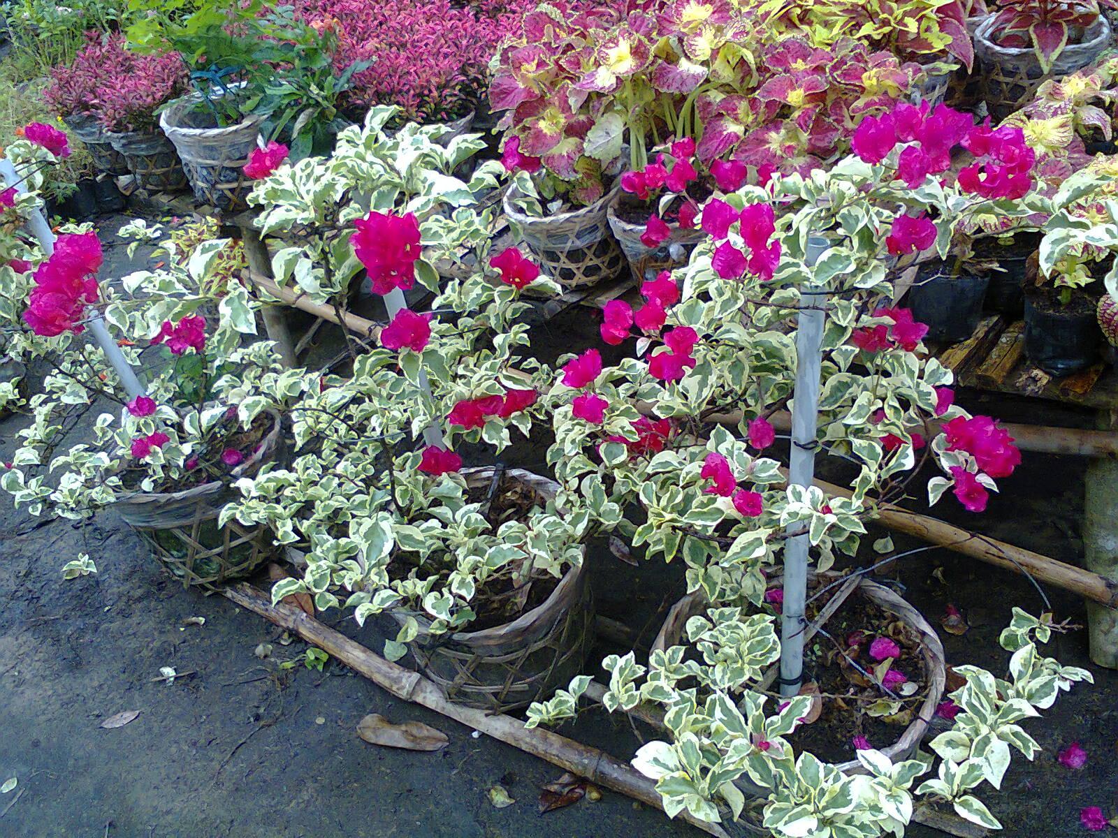 cách trồng cây hoa giấy cẩm thạch