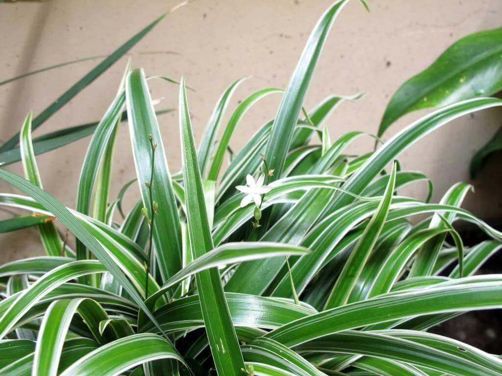 cây cỏ lan chi phong thủy