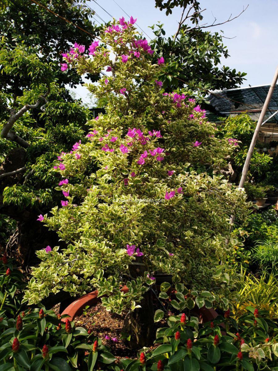 cây hoa giấy cẩm thạch