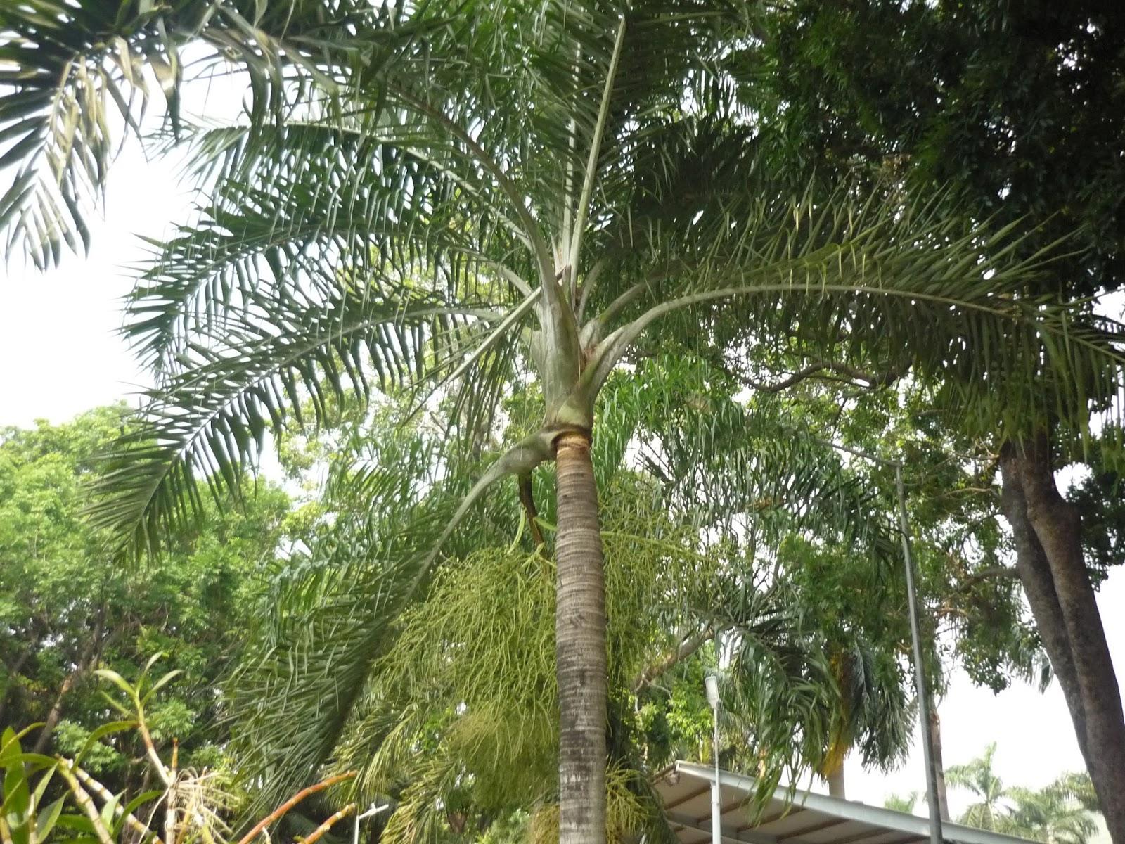 ý nghĩa cây cau vua